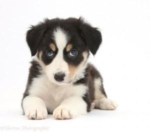 Tricolour Border Collie pup