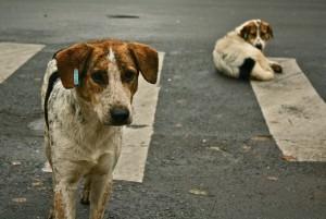 romanian dogs