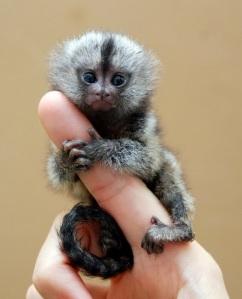 pygmy-marmoset-4[6]
