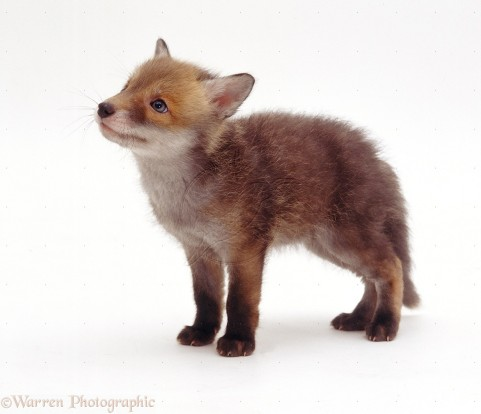 Red Fox (Vulpes vulpes) cub, 7 weeks old