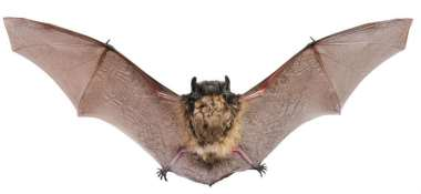 isolated-bat-with-wings-spread