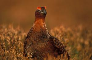 Red-Grouse-in-heather-2-HRTIFF
