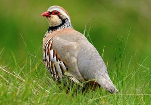 Red-Legged-Partridge070613
