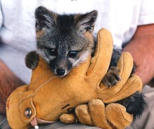 fox-in-gloves_deanaclifford-web