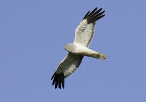 hen harrier - male in flight
