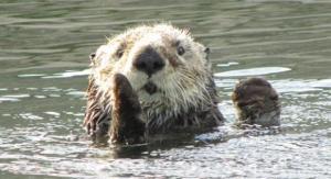sea-otter-marc-mantione-dpc