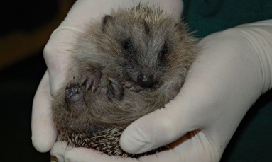 One-of-the-hoglets-012