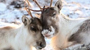 _64466755_reindeer_asmith_464