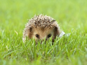 hedgehog-07