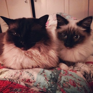 Crumble and Puff - my ridiculous Ragdolls