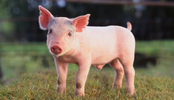 Pig 628x363