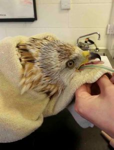 rescued red kite
