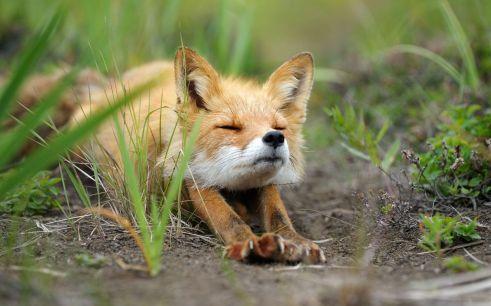 fox stretching
