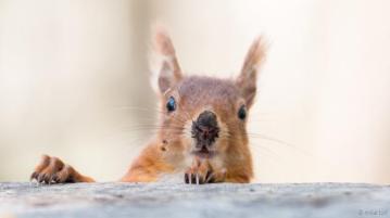squirrelred